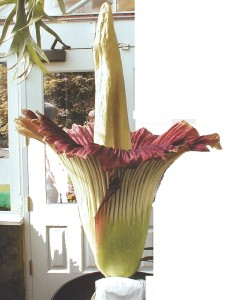 Amorphophallus titanum (Titam Arum) Stinking Corpse Flower of Basel Switzerland